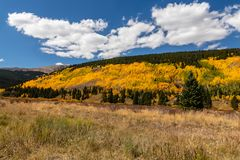 Colorado Fall Season with Golden Aspen Trees. Leaves of the aspen trees changing as Fall season arrives in the Rockies. Blue sky with white puffy clouds royalty free stock image