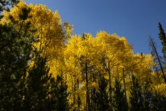 Colorado fall. Trees in fall against blue sky in Colorado, USA stock image
