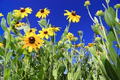 Colorado flowers. Colorado wild flowers in summer Royalty Free Stock Image