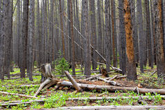 Colorado Forest Royalty Free Stock Photo