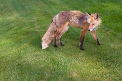 Colorado Fox Royalty Free Stock Image