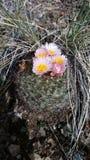 Colorado-Gebirgskaktus in der Blüte Lizenzfreie Stockbilder