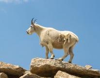 Colorado-Gebirgsziege Oreamnos americanus, sein Winte verschüttend Stockfoto