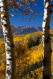 Colorado Golden Vista. White aspen tree trunks help to frame the colorful autumn vista of the Ohio Creek Valley Royalty Free Stock Images