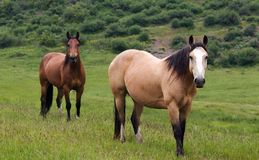 Colorado hästar Royaltyfri Fotografi