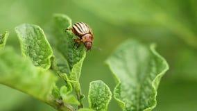 Colorado ha barrato lo scarabeo - leptinotarsa decemlineata che striscia sulle patate crescenti di una foglia archivi video