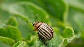 Colorado ha barrato lo scarabeo - leptinotarsa decemlineata che striscia sulle patate crescenti di una foglia stock footage