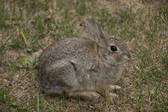 Colorado kanin Fotografering för Bildbyråer
