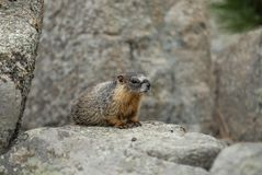 colorado marmot Royaltyfria Bilder