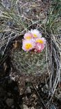 Colorado mountain cactus in bloom. This beautiful cactus os in bloom royalty free stock images