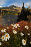 Colorado mountain daisies. Beautiful mountain daisies and lake in the back country Royalty Free Stock Photo
