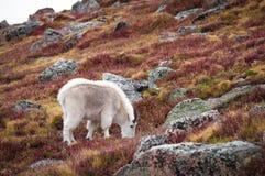 Colorado Mountain Goat Stock Photography