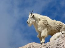 Colorado Mountain Goat and Kid. Set against a blue sky a Mountain Goat and Kid pose atop Mount Evans in Colorado Stock Photo