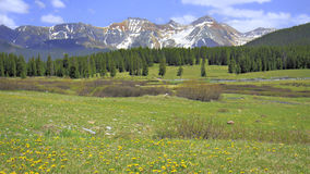 Colorado Mountain Meadow. Wildflower covered field before pine forest with snow capped peaks in the background under partially cloudy skies royalty free stock photos