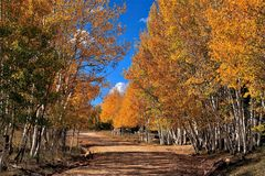 Colorado mountain road lined with Aspen in Fall Colors. Stunning gold leaves and blue sky, mountain dirt road royalty free stock images