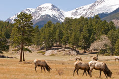 Colorado mountains and elk. A view of Colorado mountainside with several elk grazing on a opening or clearing in early spring Royalty Free Stock Photography