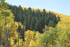 Colorado Mountains in Fall. Aspen and pines in fall splendor in colorado Royalty Free Stock Photography
