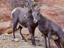 Pair of Young Desert Bighorn Sheep royalty free stock images