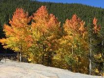 colorado osikowi drzewa Fotografia Royalty Free