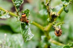 Colorado potato beetle royalty free stock photography