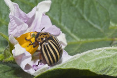 Colorado potato beetle. An adult beetle eating the flower of a potato plant stock images