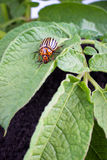 Colorado potato beetle Royalty Free Stock Images