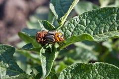 Colorado potato beetle. On a green leaves Stock Photos