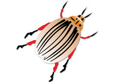 Colorado potato beetle. Isolated on white background Royalty Free Stock Photo