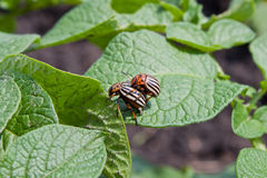 Colorado potato beetle. On a green leaves Stock Images