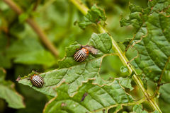 Colorado potato beetle. On a green leaves stock photo