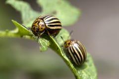 The Colorado potato beetle. Eats of potato plants on the Kemper heide, Netherlands Stock Photography