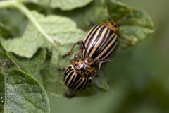 The Colorado potato beetle Stock Photos