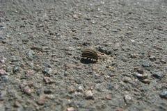 Colorado Potato Beetle. Colorado potato beetle on asphalt Royalty Free Stock Photography