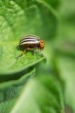 The Colorado potato beetle. Royalty Free Stock Photography