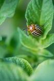 The Colorado potato beetle. Royalty Free Stock Photos