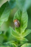 The Colorado potato beetle. Stock Photo
