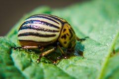 The Colorado potato beetle. Stock Photos