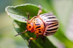 Colorado potato beetle. Bug sitting on a green Stock Images