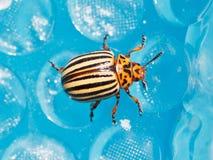 Colorado potato beetle close up royalty free stock photography