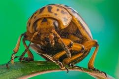 Colorado potato beetle close-up stock images