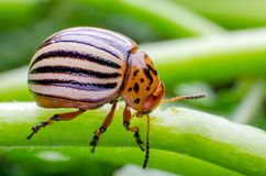 Colorado potato beetle crawling on the branches of potato.  royalty free stock photography