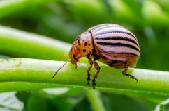 Colorado potato beetle crawling on the branches of potato royalty free stock images