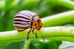 Colorado potato beetle crawling on the branches of potato.  stock photos
