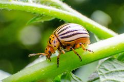 Colorado potato beetle crawling on the branches of potato.  royalty free stock images