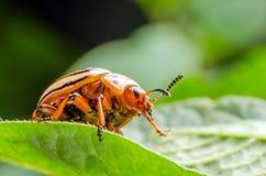 Colorado potato beetle crawling on potato leaves.  royalty free stock photo