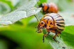 Colorado potato beetle crawling on potato leaves.  royalty free stock images