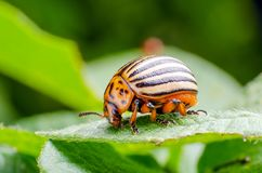 Colorado potato beetle crawling on potato leaves.  stock images