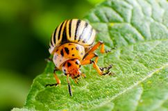 Colorado potato beetle crawling on potato leaves stock photo