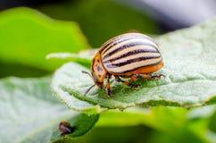 Colorado potato beetle crawling on potato leaves stock images