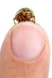 Colorado potato beetle crawling over finger Stock Photos